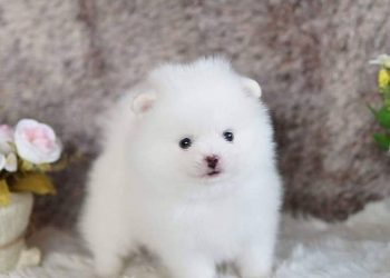 Adorable Pomeranian pups
